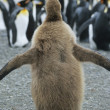 Penguin chick adults in background — Stock Photo