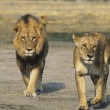Stock Photo: Pair of Lions walking on savannah