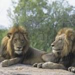 Lions lying on rock — Stock Photo #33868025