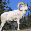 Mountain Goat near forest — Stock Photo #33868265