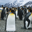 Large collony of Penguins — Stock Photo #33868493