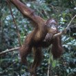 Oranguthanging in trees — Stock Photo #33868599