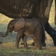 Stock Photo: AfricElephant with mother on savannah