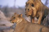 Pair of Lions resting — Stock Photo
