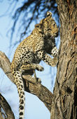Leopard on Branch — Stock Photo