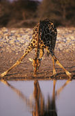 Maasai Giraffe drinking at waterhole — Stock Photo