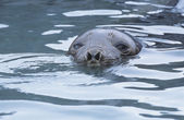 Seals head in water — Stock Photo