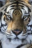 Tygr obličej — Stock fotografie