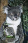 Koala baby with mother — Stock Photo