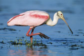 Ibis wading in water — Stock Photo