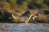 Kangaroo bouncing through desert — Stock Photo