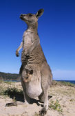 Kangaroo with joey in pouch on beach — Stock Photo