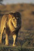 Lion walking on savannah — Stock Photo