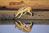 Black-backed Jackal at waterhole — Stock Photo