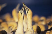 Gannets courting near colony — Stock Photo
