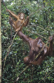 Two Orangutans hanging in trees — Stock Photo