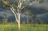 Australia Eucalyptus trees in field — Stock Photo