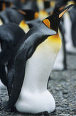Emperor Penguin near colony — Stock Photo