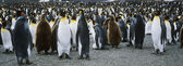 Large colony of Penguins — Stock Photo