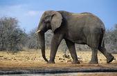 Elefante africano — Fotografia Stock