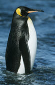 Emperor Penguin in water — Stock Photo
