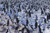 Penguins gathering on ice — Stock Photo