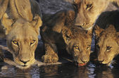 Lions drinking at waterhole — Stock Photo
