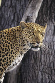 Leopard standing beside tree — Stock Photo