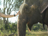 Woman stroking elephants head — Stockfoto