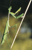 Praying Mantis climbing twig — Stok fotoğraf