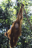 Orangutan howling — Stock Photo