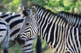 Plains Zebra — Stock Photo