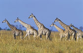 Group of Maasai Giraffes — Stock Photo