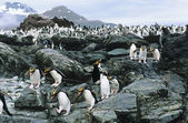 Large colony of Penguins on rocks — Stock Photo