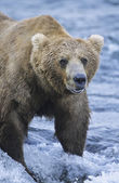 Grizzly bear in river — Stock Photo