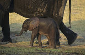 African Elephant with mother on savannah — Stock Photo