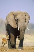 African Elephant and Gazelle on savannah — Stock Photo