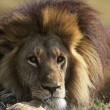 Stock Photo: Male Lion lying on savannah