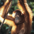 Oranguthanging in trees — Stock Photo #33870687
