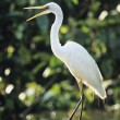 Stock Photo: White Heron perched on log