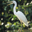 White Heron perched on log — Stock Photo