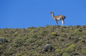 Llama standing on hillside — Stock Photo