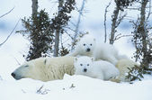 Polar Bear cubs with mother — Stock Photo