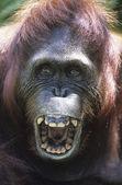 Orangutan hanging in trees — Stock Photo