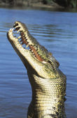 Australian Saltwater Crocodile in river — Stock Photo
