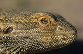 Water dragon close-up of head — Foto de Stock