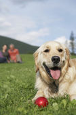 Golden retriever reclining in meadow — Stock fotografie