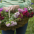 Woman holding basket of flowers — Stock Photo #33881709