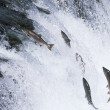 Salmon jumping upstream in river — Stock Photo #33883635