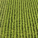 Aerial view, rows of grape vines, vineyard — Stock Photo #33884109